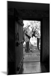 An African Elephant Walking Past an Open Doorway in a Camp by Beverly Joubert
