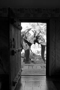 An African Elephant Walking Past an Open Doorway in a Camp by Beverly Joubert