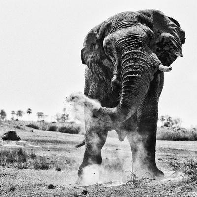 An elephant, Loxodonta Africana, creates dust with its trunk.