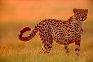 Cheetah (Acinonyx Jubatus) by Beverly Joubert