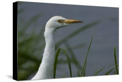 Close-Up of a Cattle Egret, Bubulcus Ibis, Looking over the Water