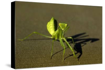 Close Up of a Praying Mantis