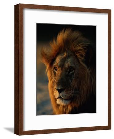 Close View of a Male Lion (Panthera Leo)
