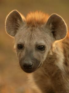 Close View of the Face of a Young Spotted Hyena in Afternoon Light by Beverly Joubert