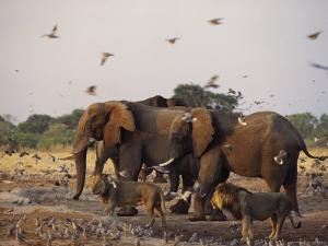 Doves, Lions and Elephants Compete for a Water Hole in the Dry Season by Beverly Joubert