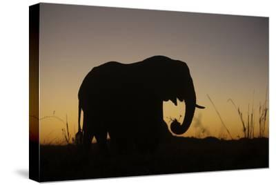 Elephant Grazing Silhouette in Sunset in Northern Botswana