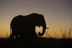 Elephant Grazing Silhouette in Sunset in Northern Botswana by Beverly Joubert