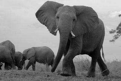 Elephant Herd Walking One Getting Separated and Defensive in Northern Botswana