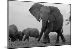 Elephant Herd Walking One Getting Separated and Defensive in Northern Botswana by Beverly Joubert