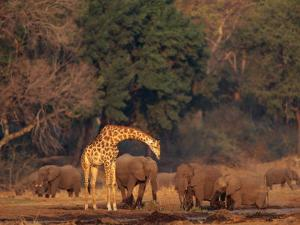 Elephants and a Solitary Giraffe Share a Water Hole by Beverly Joubert