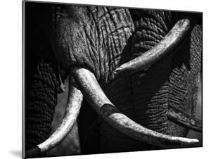 Elephants, Loxodonta Africana, at ol Donyo in Kenya greet each other. by Beverly Joubert