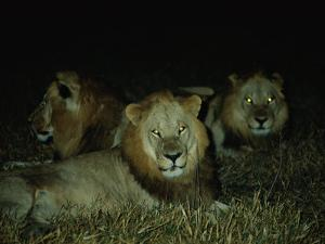 Eyes of Several African Lions Glow from a Strobe Flash in This Night View by Beverly Joubert
