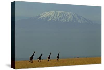 Four Masai Giraffes on a Grass Plain at the Base of Mount Kilimanjaro