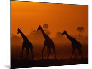 Giraffes Silhouetted at Twilight by Beverly Joubert