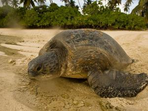 Hawksbill Turtle Crawling Back to Sea after Laying Eggs on the Beach by Beverly Joubert