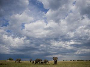 Herd of African Elephants Grazing Grasslands under Cloud-Filled Sky by Beverly Joubert