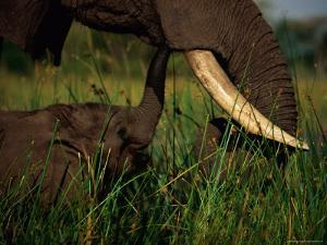 Juvenile African Elephant Being Fed by its Parent by Beverly Joubert