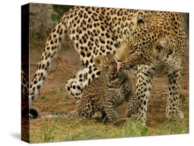 Leopard, Panthera Pardus, Grooming Her Cub
