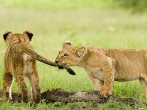 Lion Cubs Playing, Duba, Okavango Delta, Botswana by Beverly Joubert