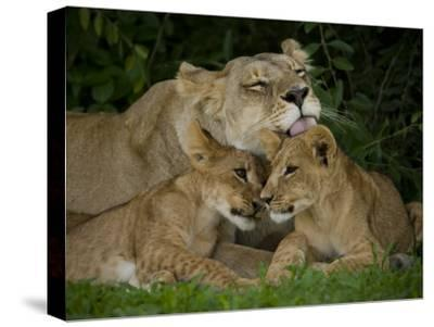 Lioness and Two Cubs Resting and Grooming in the Shade, Duba Plains, Okavango Delta, Botswana