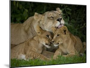 Lioness and Two Cubs Resting and Grooming in the Shade, Duba Plains, Okavango Delta, Botswana by Beverly Joubert
