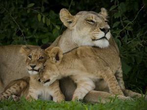 Lioness and Two Cubs Resting in the Shade by Beverly Joubert