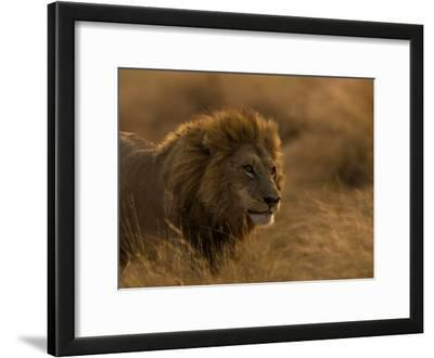 Male African Lion, Panthera Leo, in Golden Grasslands