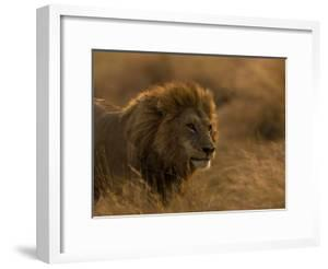 Male African Lion, Panthera Leo, in Golden Grasslands by Beverly Joubert