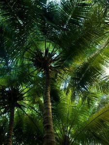 Palm Trees Make a Canopy of Green Overhead with their Fronds by Beverly Joubert