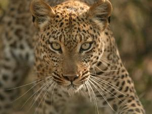 Portrait of a Leopard, Panthera Pardus, Mombo, Okavango Delta, Botswana by Beverly Joubert