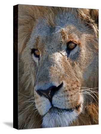 Portrait of a Male African Lion, Panthera Leo, Okavango Delta, Botswana