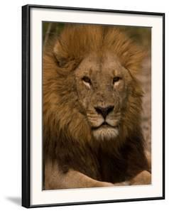 Portrait of a Resting Male African Lion, Panthera Leo by Beverly Joubert