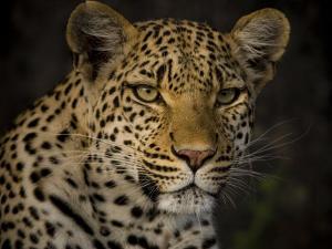 Profile Portrait of a Leopard by Beverly Joubert