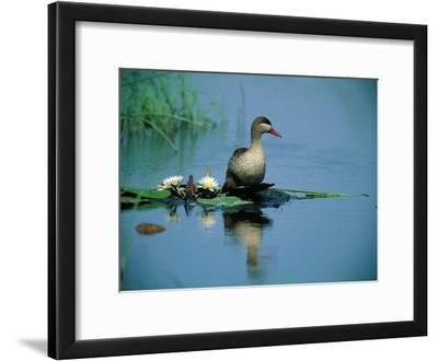 Red-Billed Duck Standing on Lotus Leaves in a Pond