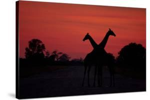 Silhouette of Two Giraffes Standing Next to Each Other in the Crimson Sunset, Botswana by Beverly Joubert