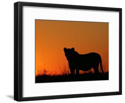 Silhouetted African Lioness, Panthera Leo, at Twilight, Okavango Delta, Botswana