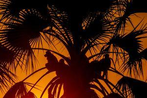 Silhouetted Baboons Sitting in a Palm Tree at Sunset by Beverly Joubert