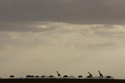 Silhouetted giraffes and blue wildebeests under a cloud-filled sky. by Beverly Joubert