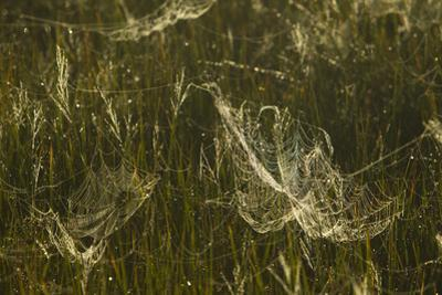 The Early Morning Sunlight Catching the Dew on the Spider Webs Covering the Grass