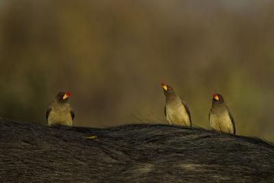 Three Yellow-Billed Oxpeckers Perch on Top of an African Buffalo, Syncerus Caffer by Beverly Joubert