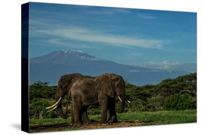 Two African Elephants, Loxodonta Africana, Standing In Kenya's Masai Mara National Reserve