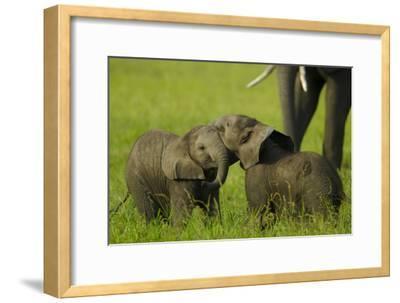 Two Elephant Calves Playing Between the Herd, Botswana