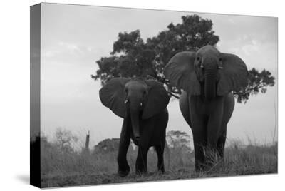 Two Elephants Charging in Northern Botswana
