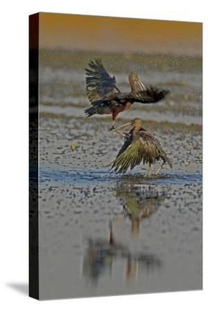 Two Glossy Ibis, Plegadis Falcinellus, Fighting to Determine Who Is the Alpha Male