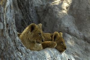 Two Lion Cubs Resting on Exposed Tree Roots by Beverly Joubert