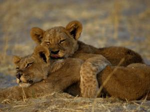Two Lion Cubs Snuggle Together on the Ground by Beverly Joubert