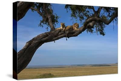 Two Lions Lying Next to Each Other in a Tree