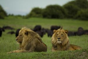 Two Male Lions at Rest Near a Herd of African Buffalo by Beverly Joubert