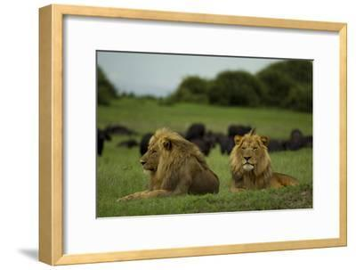 Two Male Lions at Rest Near a Herd of African Buffalo