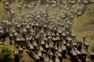 Wildebeest Charge to Get Up a Steep River Bank by Beverly Joubert